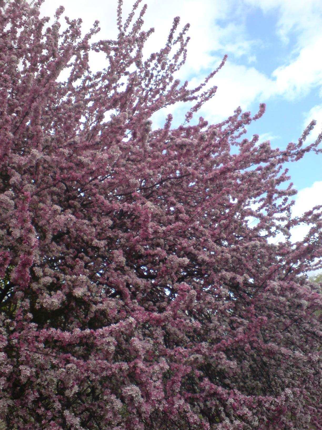 New York Umsonst: Kirschblüte in NYC